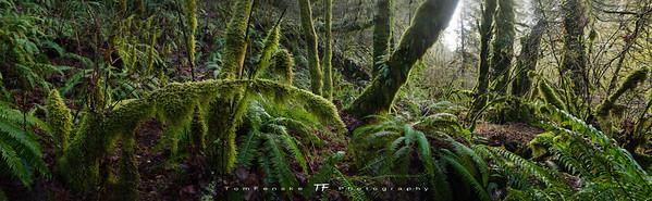 Lush dense PNW rainforest panorama