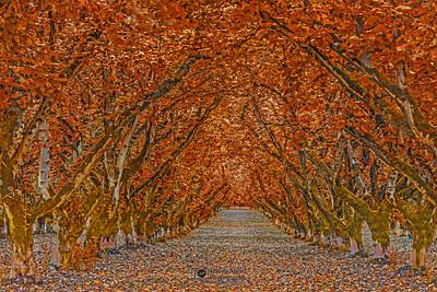 """""""Autumn's Goodbye,"""" Hazelnut tree tunnel in the Autumn, Oregon"""