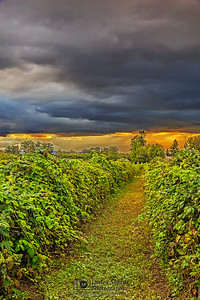 """Sunset's Path,"" Sunset over a field of berry vines, Oregon"