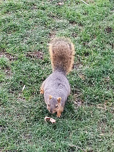 One of the huge Kaegi squirrels of Wabash College. (pronounced kay-gee in Indiana)