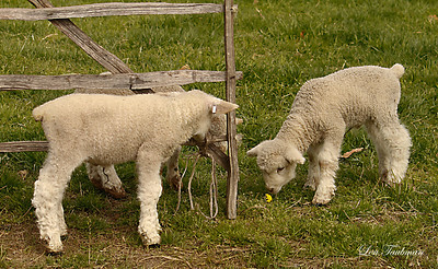 Lambs and Flower