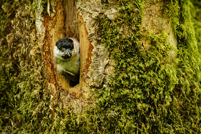 Willow Tit Nest