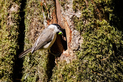 Willow Tit with Green Caterpillar