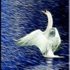 Swan Display
