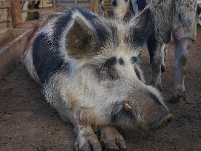 Will's Rare Breeds Farm