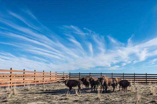 Wind River Bison for National Wildlife Federation
