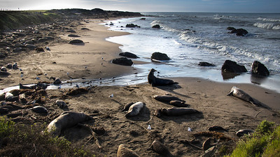 elephant seal rookery in February
