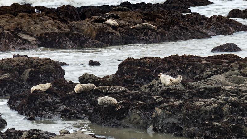 how many harbor seals