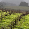 rainy vineyard