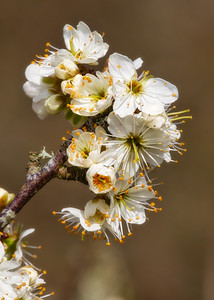 Blackthorn Beauty