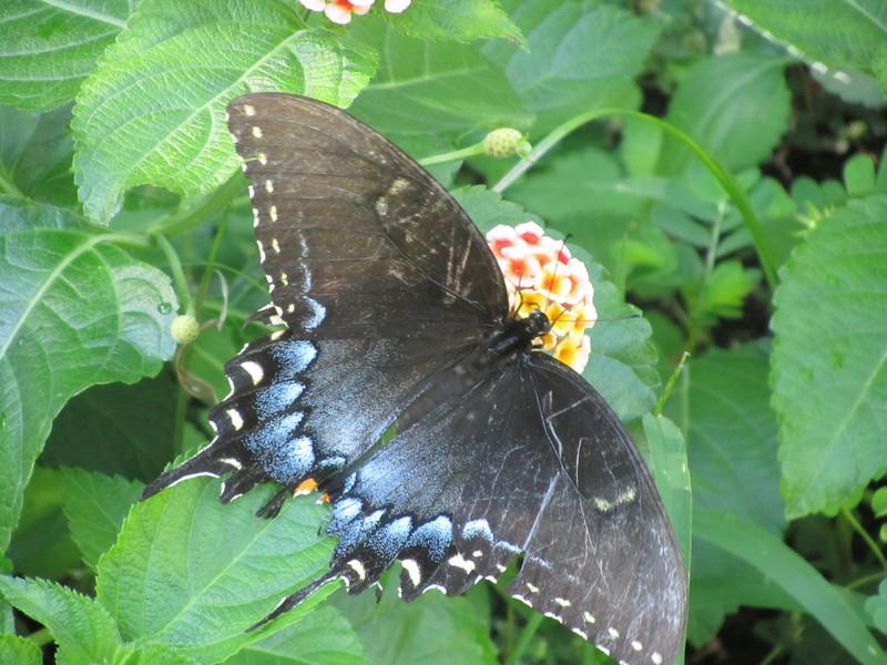 Windsor Butterfly