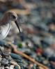 Sandpiper?   Shot at the beach off Dallas Rd.  Victoria, B.C..