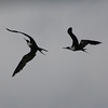 A pair of Magnificent Frigate birds