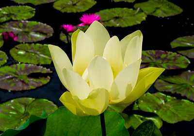 Lotus Flower, Chicago Botanic Garden