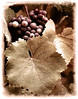 grapes and leaves sepia