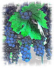 grren leaf blue grapes pencil effect