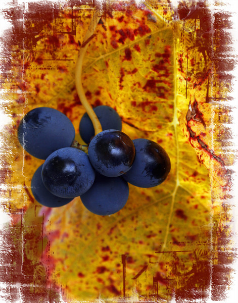 small blue grape bunch red frame