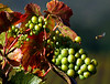 green grapes and bee
