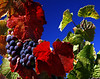 red leaf grapes blue sky 2