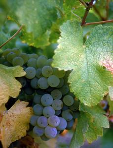 green grapes 10