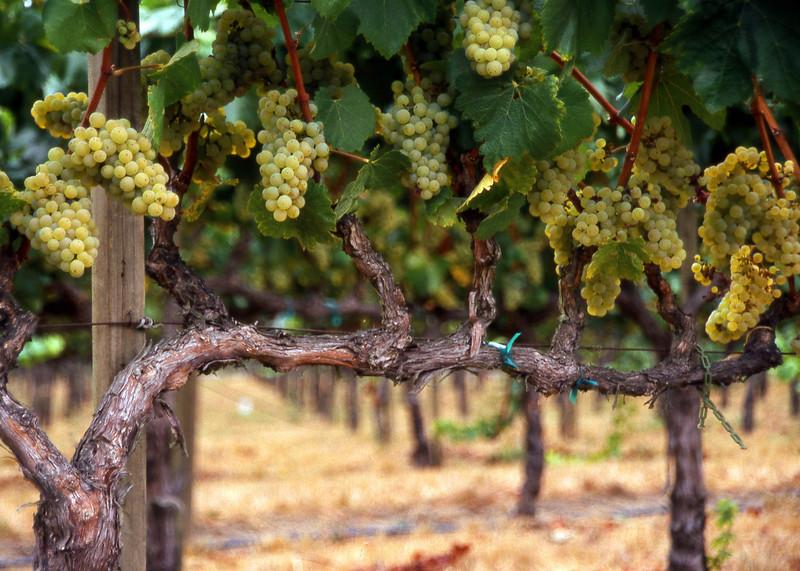 green grapes 11