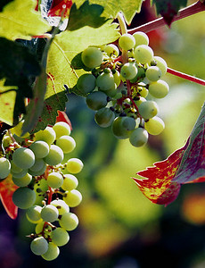 green grapes in sun