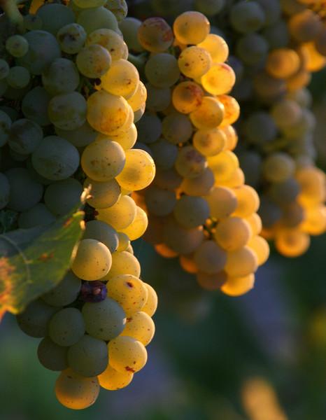 green grapes backlit 3