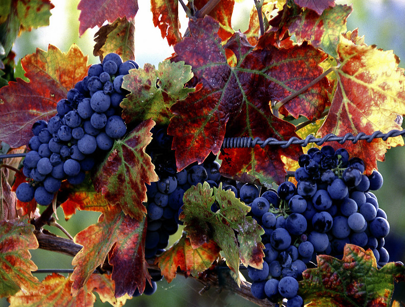 fall grapes 1
