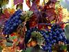 fall grapes 1