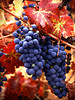 red leaf grapes 11