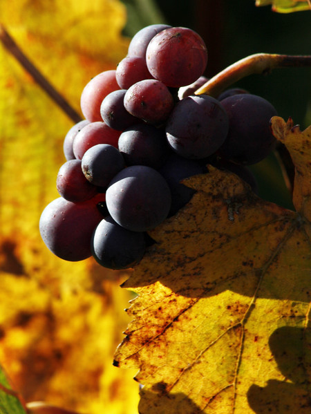 purple grapes yellow leaf