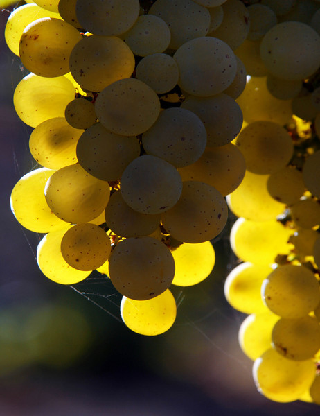 green grapes backlit 2