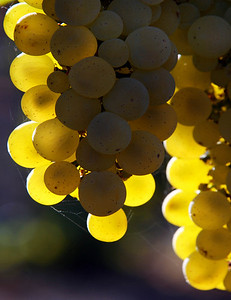 green grapes backlit 2