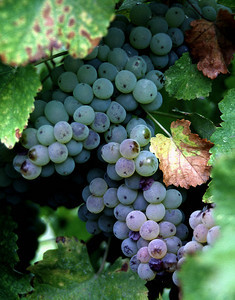 green leaf grapes 3