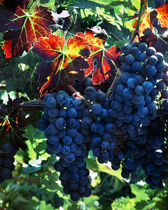 fall grapes 2