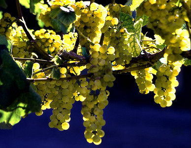 green grapes backlit