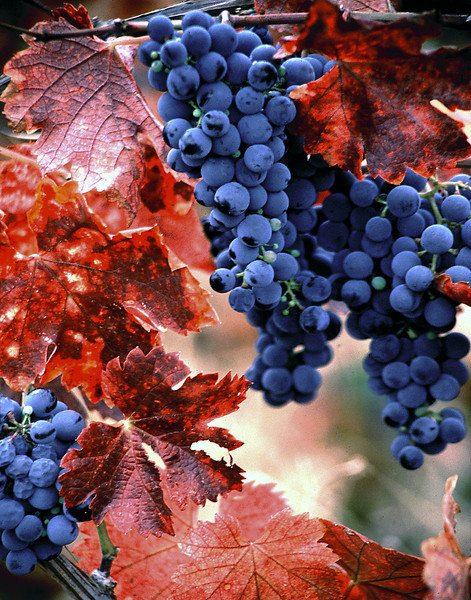 red leaf grapes 1