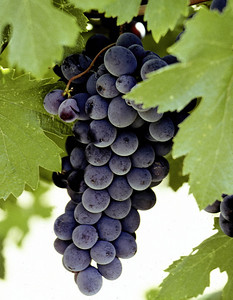 grapes close 1
