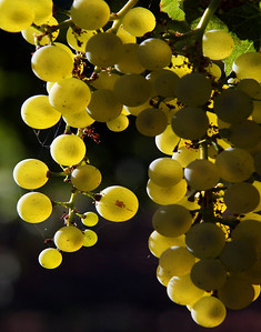 green grapes backlit 4