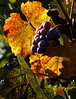 fall grapes 3