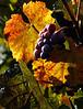 fall grapes 3
