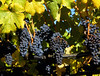 yellow leaf grapes 6