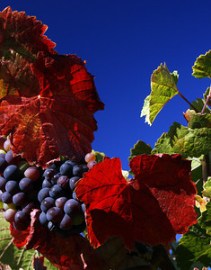 red leaf grapes blue sky
