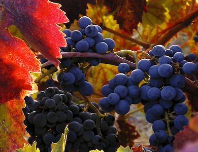 fall grapes 9