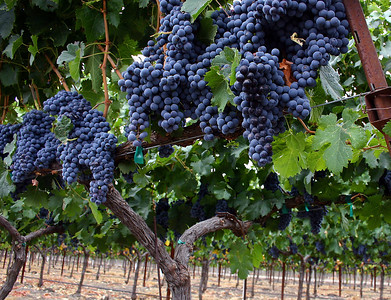 grapes on vine row 3