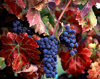 red leaf grapes 3