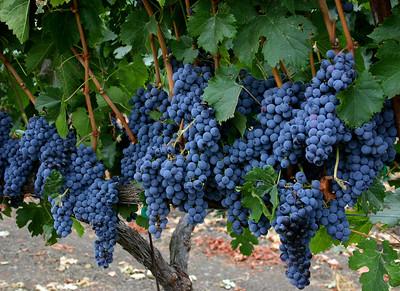 grapes 9