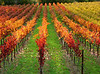 fall vineyard red and yellow vines