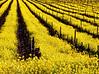 mustard vineyard sunny