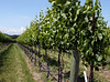 early summer vines